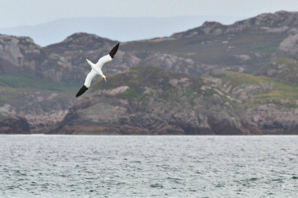 Fous et autres oiseaux de Iona