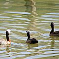 White-faced whistling duck (2)