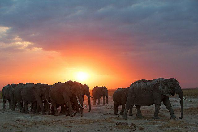 elephant troupeau coucher soleil