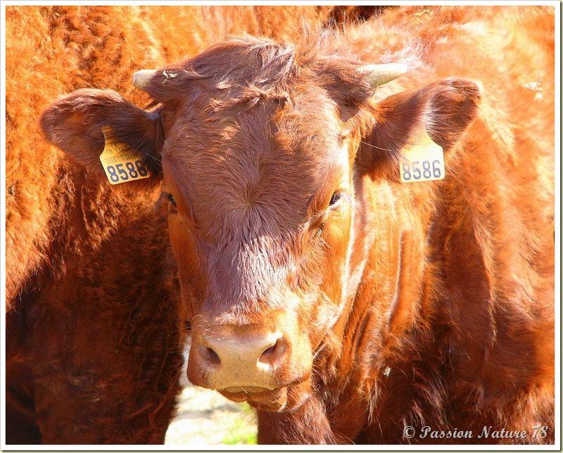 Les vaches de Salers et leurs petits veaux (2)