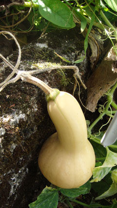 courge_butternut_1