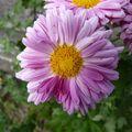 2009 09 10 Une fleur de Chrysanthème d'automne