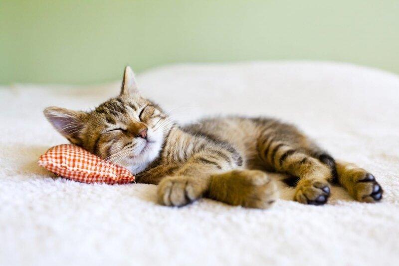 Chat en sieste