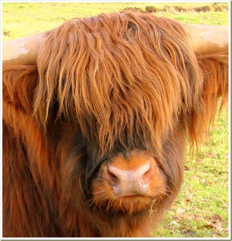 La vache de race Highland (17)