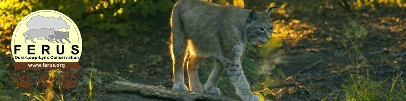 Loups, Lynx, Ours... : les dernières de Férus.