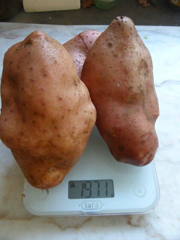 30-pommes de terre mira (1)