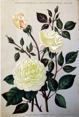rose Duchesse de Bragance