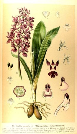 0177-orchidee---ophrys-frelon--ophrys-arachnites (1)