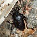 Cerambycidae de Haute-Savoie