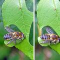 Mégachile du rosier • Megachile sp.
