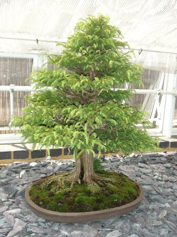 bonsai pin 2