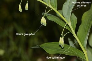 polygonatum_multiflorum_la plante