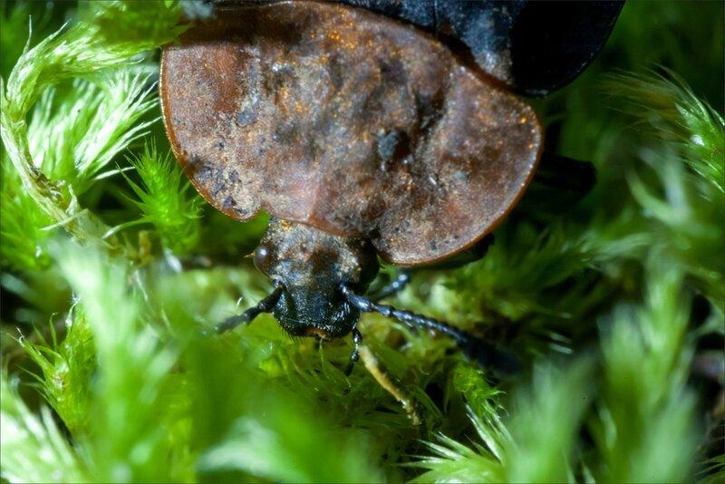 Galuchet ecrevisse morte insecte Silphe à corselet rouge 190616 9 GP