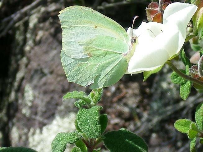3-Papillon sur ciste