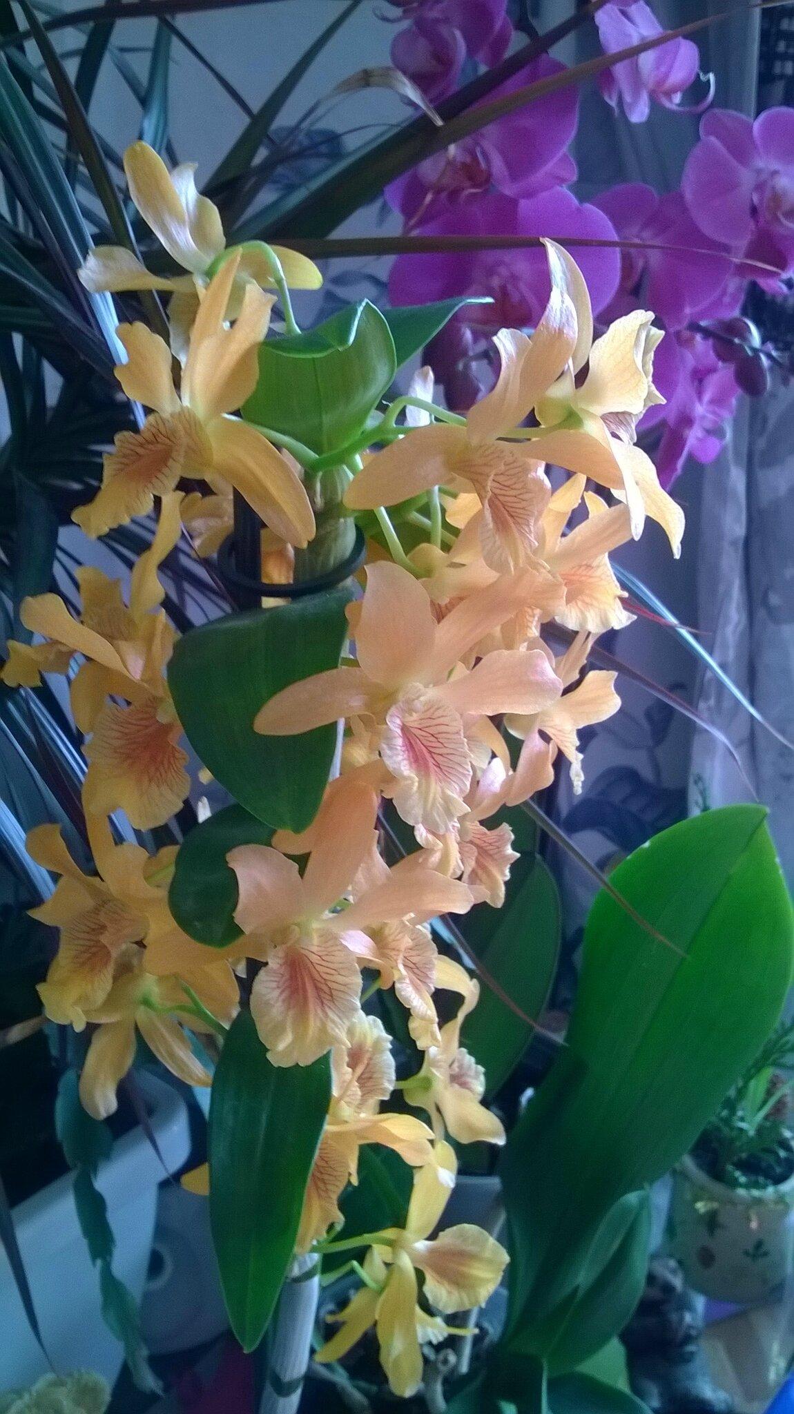 Mon dendrobium, une orchidée