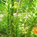 Cactus en Turquie à Sélimiyé
