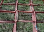 Plants d'oignons