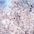 Sakura de risaku suzuki...