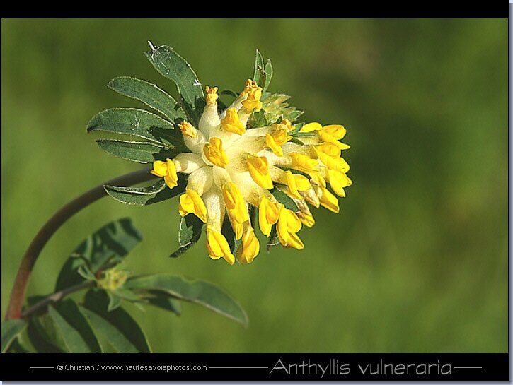 anthyllis_vulneraria