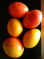 Mangue 0