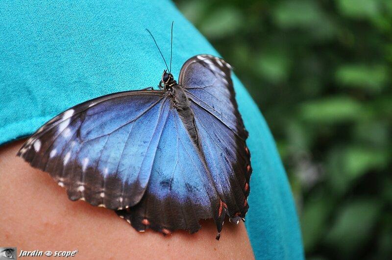 Morpho peleides • Morpheidae