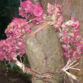 couronne d'hortensias ,coloquintes ,le jardin prend des couleurs
