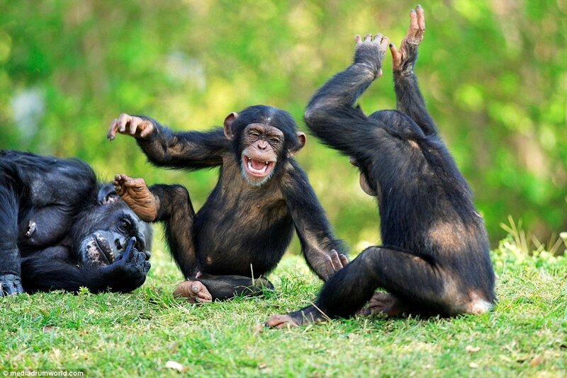 chimps laughing