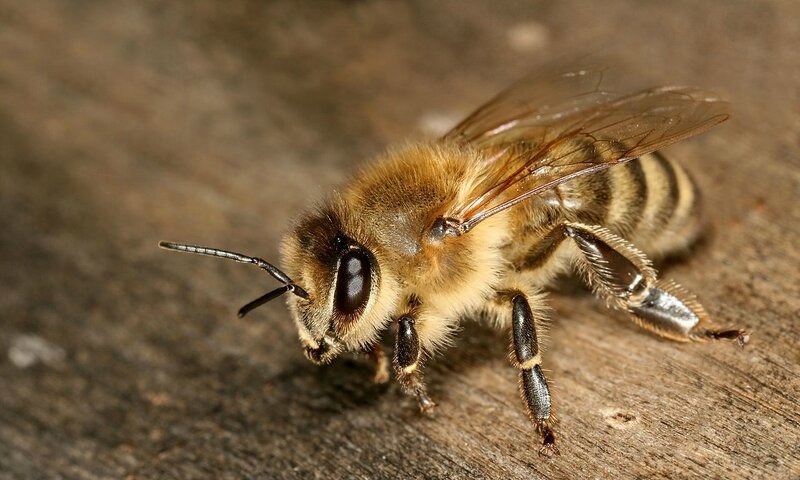 1280px-Apis_mellifera_carnica_worker_hive_entrance_3
