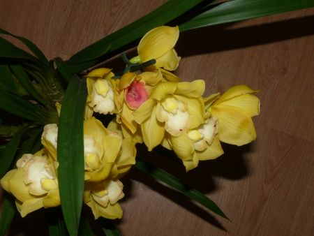 Cymbidium jaune hybride 84560396_p