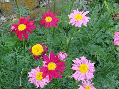 2008 06 19 Mes fleurs de pyrèthre de Robinson