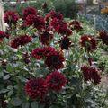 2009 08 08 Un dahlias avec de nombreuses fleurs