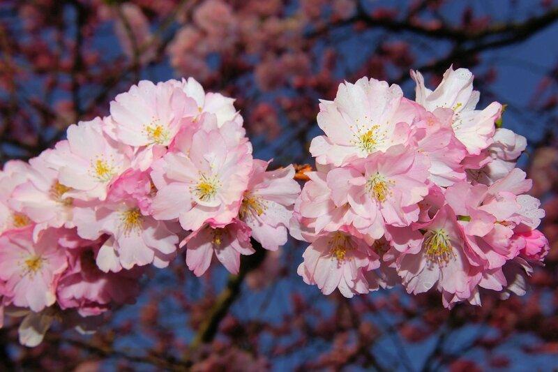 cherry-blossom-1318261_1280