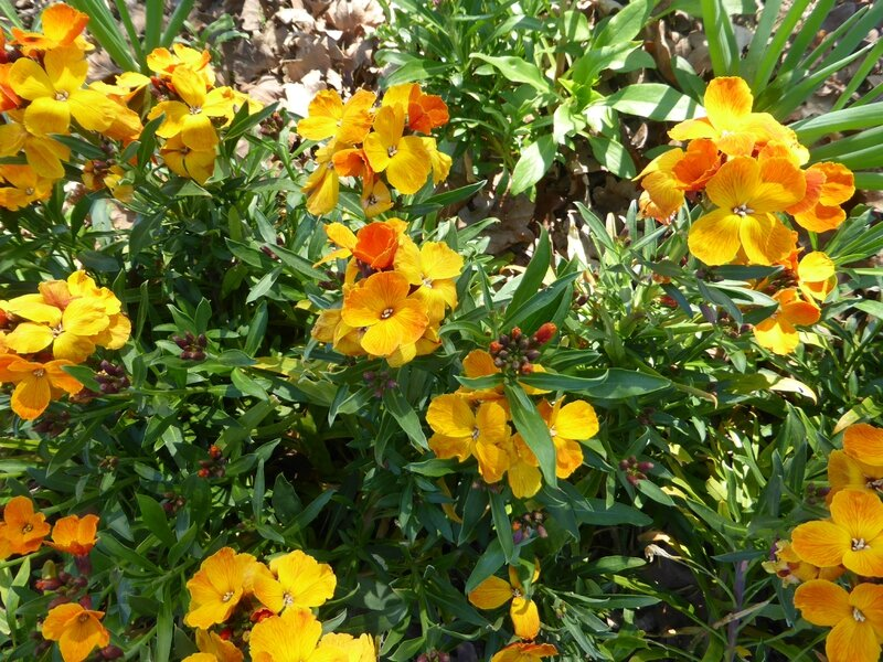 14-fleurs giroflée (5)