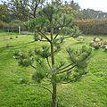 Niwaki de pin noir : taille d'automne