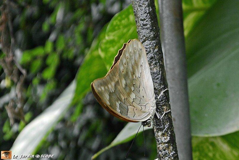 Archaeoprepona demophon • Nymphalidae