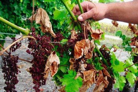 Photo-vignes-malades-sud-ouest