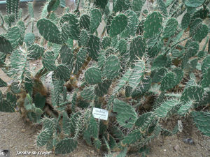 CIMG1458_Opuntia