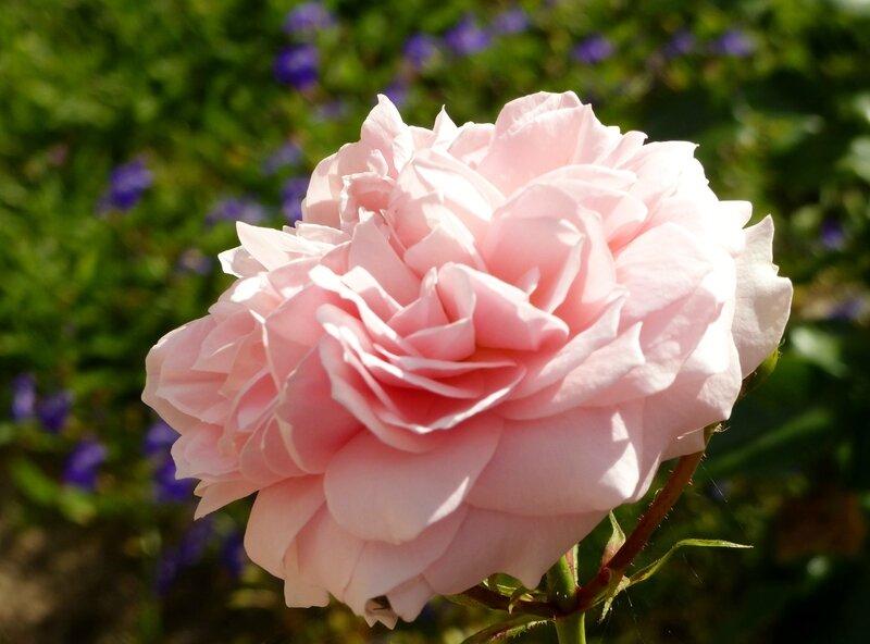 garden of roses (6)