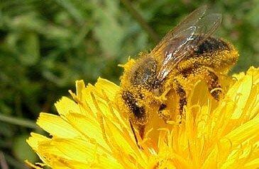 abeille-pollen