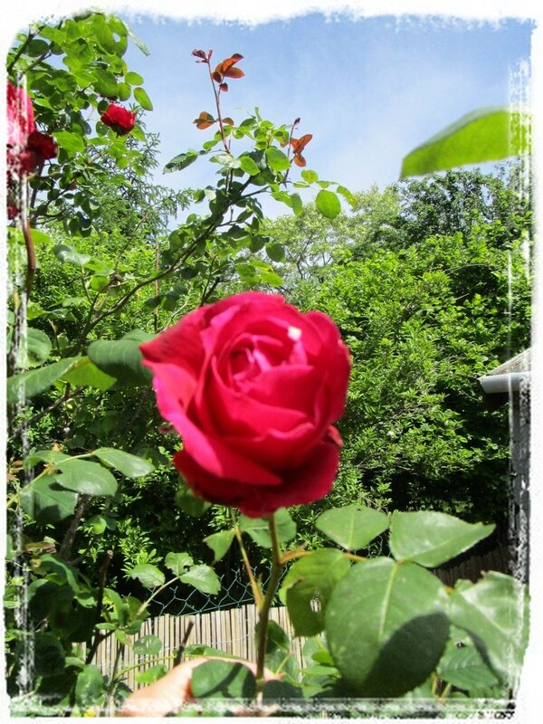 Rose rouge3