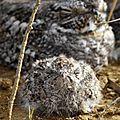 Chordeiles acutipennis : Engoulevent minime adulte et oisillon