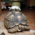 Petite tortue cherche...