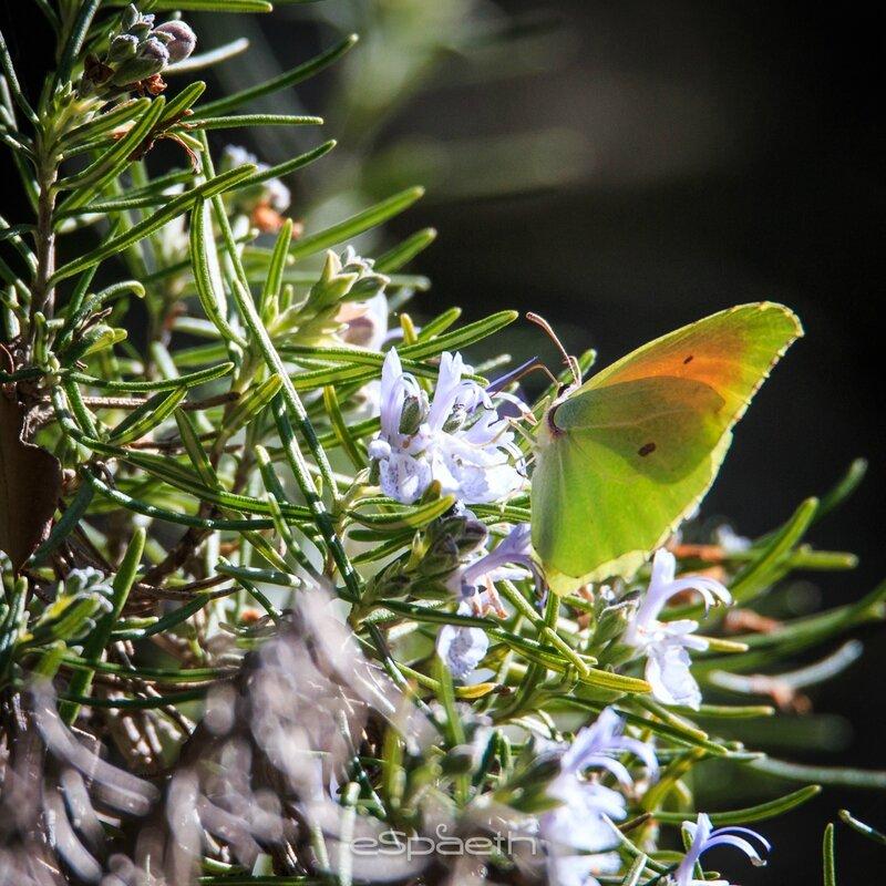Papillons 2015 Citron de Provence mâle
