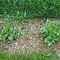 Les dahlias de nononcle