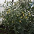 2009 07 01 Nombreuses fleurs de tomates