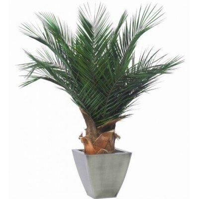 plante-phoenix-stabilise