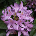 Rhododendron-03
