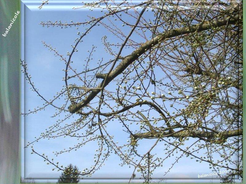 balanicole_2017_02_le printemps des arbustes_02_prunier02