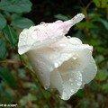 'Fée des Neiges' couvert de perles de pluie d'automne
