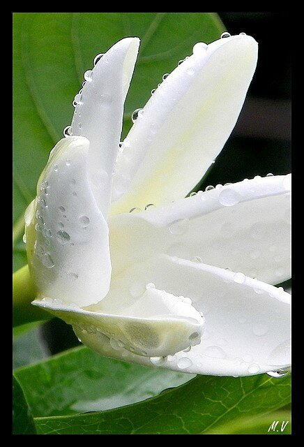 Wet Tiare (4)